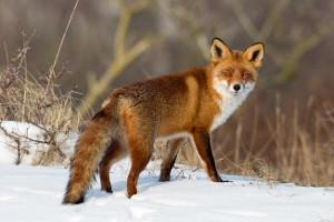 Ist ein Fuchs in einen Wildunfall verwickelt, muss dieser zumeist nicht gemeldet werden.