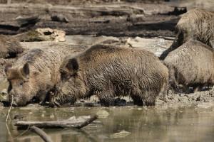 Bei einem Wildunfall sind besonders Wildschweine eine große Gefahr.